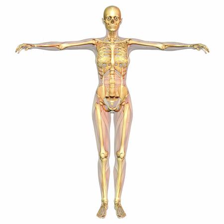 Digital visualization of human anatomy photo