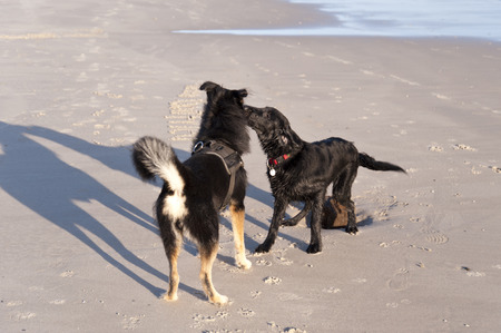 omitted: Dog on the Beach of the North Frisian Island Amrum in Germany
