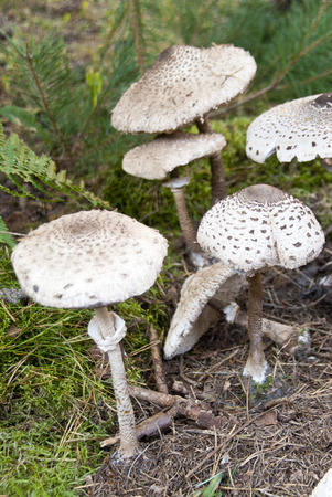 giant mushroom: macrolepiota procera Stock Photo
