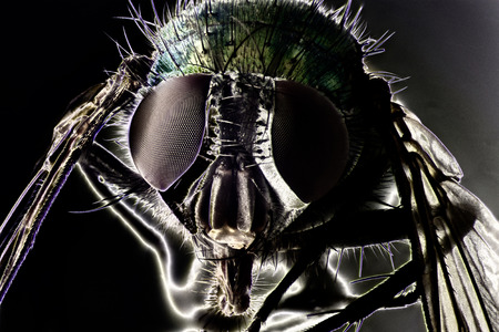 protozoan: Micro Photo of a Fly
