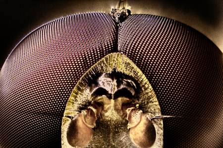 compound eyes: Micro Photo of a Hoverfly