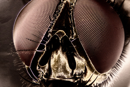 compound eyes: Micro Photo of a Fly
