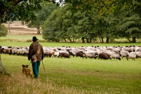 Pecore in Lueneburg Heath Editoriali