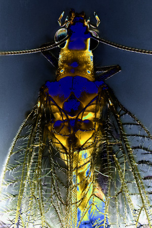 chrysoperla: Micro Photo of a Lacewing