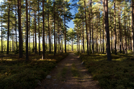 mountain cranberry: Forest and heathland in Sweden Stock Photo