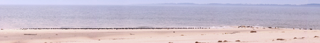 Panoramic view with seals and seabirds on the North Sea island Amrum