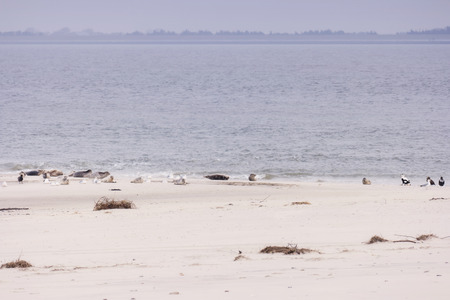 Seals and birds on North Frisian island beach of Amrum in Germany