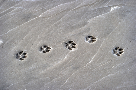 Paw Prints of a Dog on the Beach 版權商用圖片