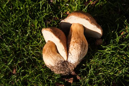 Fungi Porcini Boletus edulis