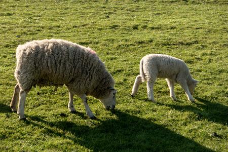 Sheep in Westerhever in Germany