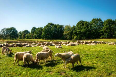 Sheep herd in the Dosenmoor in Schleswig-Holstein, Germany Stock Photo