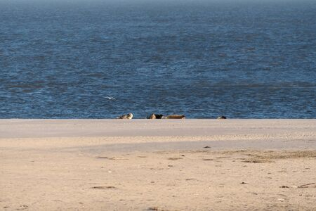 Seals on the Beach of Amrum in Germany