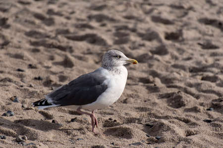 Seagull on the baltic sea coast in Germany