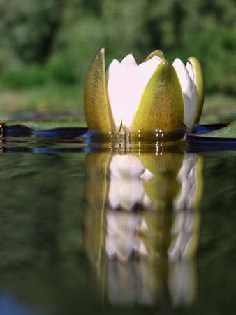 lilia: Blanca Lilia se refleja en el agua