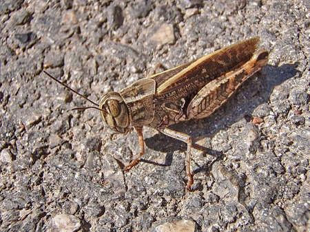 szarańcza: Locust (Acrididae) - stadne owady