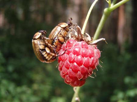 coitus: Bugs on a raspberry Stock Photo