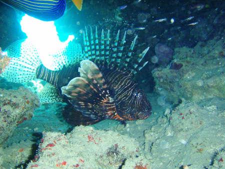 pterois volitans: Pterois volitans - Lionfish Stock Photo