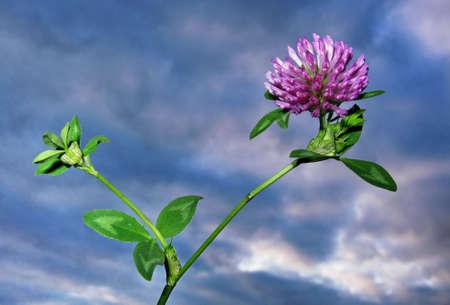 dutch clover: Flower of the dutch clover
