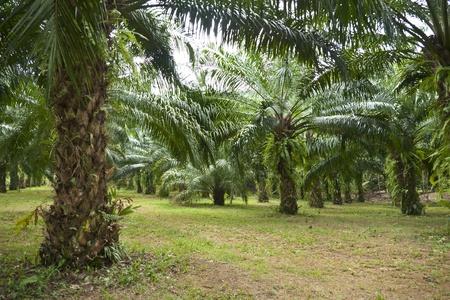 red palm oil: Olio di palma-02