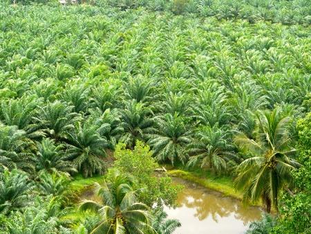 palm oil plantation: Palm oil Stock Photo