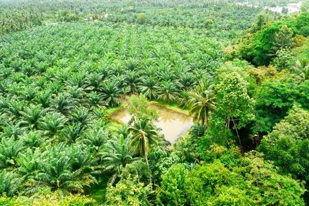 Palm oil photo