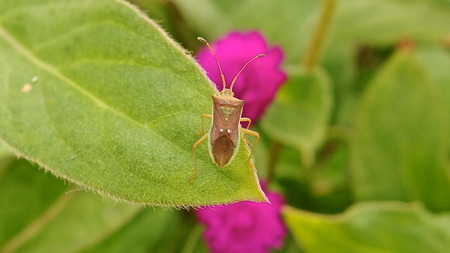 Spined Legume Bug Stock Photo