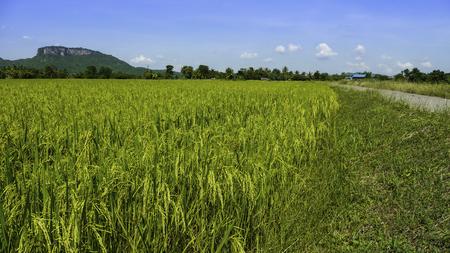 rice Thailand