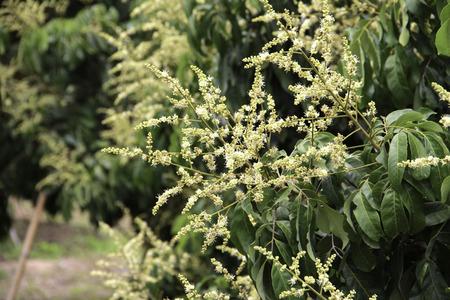 longan flowers