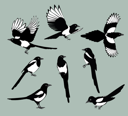 Set of black isolated vector silhouettes of birds magpie . Bird Poses. Vector illustration. 일러스트