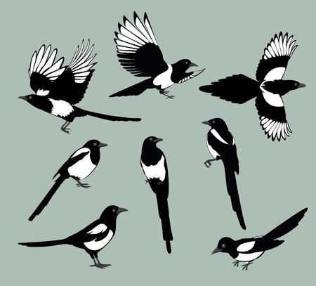 Set van zwarte geïsoleerde vector silhouetten van vogels ekster. Bird Poses. Vector illustratie.