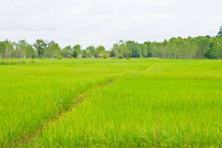 Rice field and sky photo