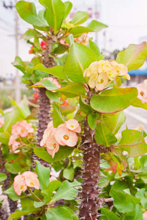 The Euphorbia Milii