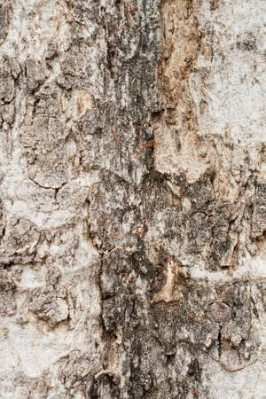 Texture old dry tree photo