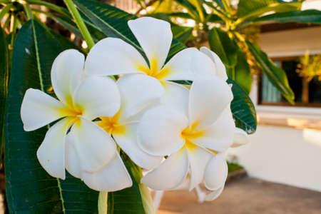 Frangipani flowers in the garden photo