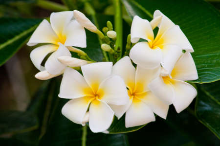 Frangipani flower in the garden photo