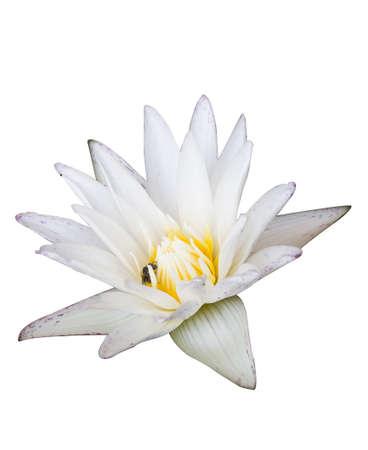 nelumbinis: White lotus on a white background isolate Stock Photo