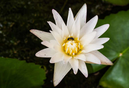 White lotus in the pond Stock Photo - 15629352