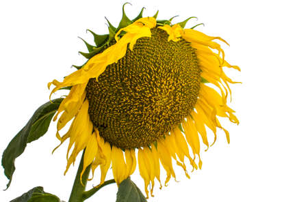 Sunflower on a white background Stock Photo - 17663524