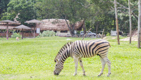 Zebra was eating grass in the zoo photo