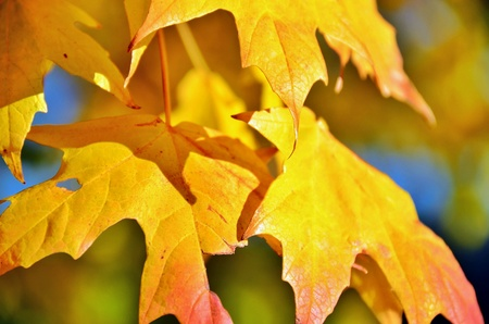 gold: Golden Leaves