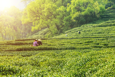 tea Standard-Bild
