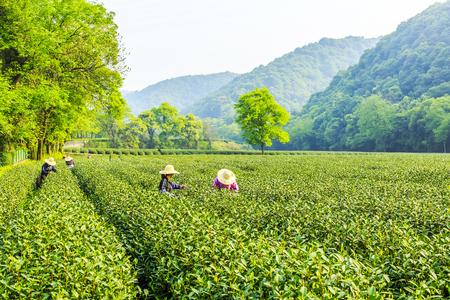 杭州西湖、龍井の茶農園 写真素材