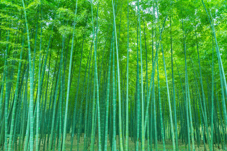 Bamboo forest landscape view