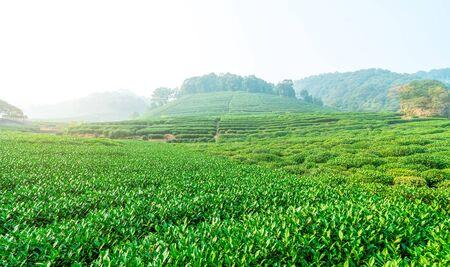 Green tea township base background