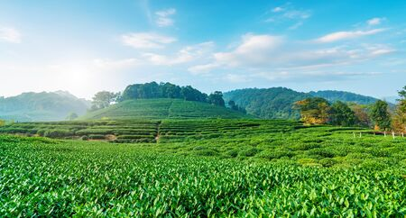 Tea Country Scenery Stock Photo