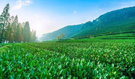 Scenery of Longjing Tea Township Base Stock Photo