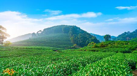 Scenery of Green Longjing Tea Township Base Stock Photo