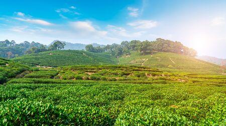 Longjing Tea Township Base