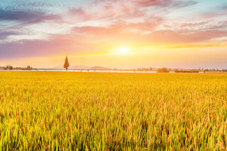 Golden Autumn Rice Field Harvest Zdjęcie Seryjne