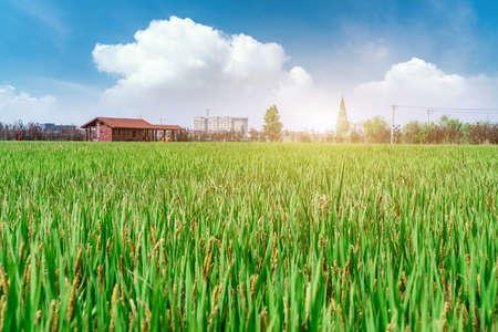 Green rice field organic food Zdjęcie Seryjne